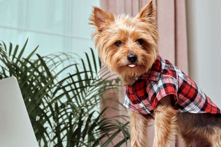 Video communication. The dog is looking at the screen of an open laptop. In the background a palm plant. Breed Yorkshire Terrier. Stock fotó - 150638434
