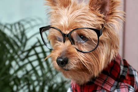 Close up of a beautiful cute muzzle of a small dog in big glasses for eyesight. Breed Yorkshire Terrier.