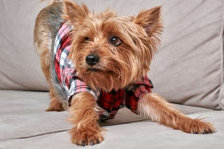 Close-up of the face of a terrier dog lying on the sofa. Very cute dog. Dog in fashionable clothes. Stock fotó - 150638442