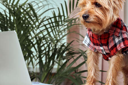 The dog is looking at the screen of an open laptop. In the background a palm plant. Video communication. Breed Yorkshire Terrier. Reklamní fotografie