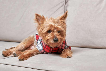A cute terrier dog lies on the couch and stares at the side. Dog in fashionable clothes. Stock fotó - 150638447
