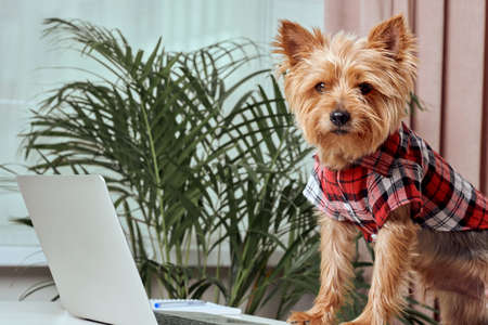 Cute terrier dog working on laptop at home. Technology concept. Dog in clothes.