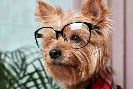 Close-up of the dogs face in large glasses for vision. The dog looks away. Breed Yorkshire Terrier.