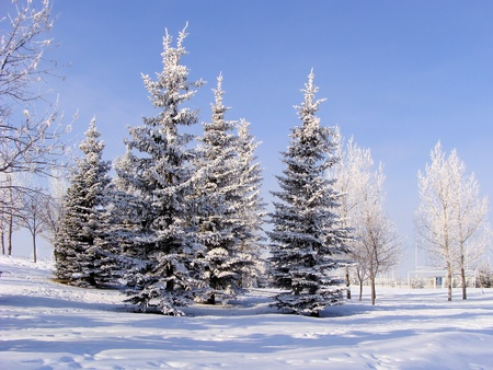 coniferous tree: A group of frosty, snow-covered trees in a city park Stock Photo