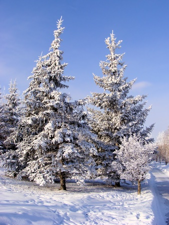 A group of frost covered spruce trees during winter Stock Photo - 8954026