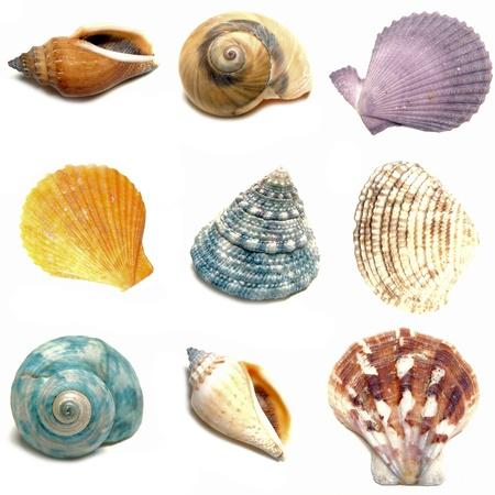 Groep van negen kleurrijke zeeschelpen op een witte achtergrond