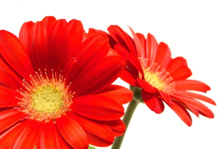 Red daisy flowers close-up on a white background  photo