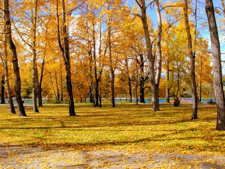 Urban forest during autumn with beautiful yellow foliage and fallen leaves photo