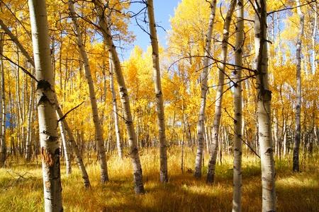 arbol alamo: Ver a trav�s de los �rboles de follaje de oto�o colorido de un bosque de �lamos