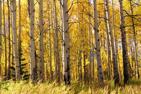 beautiful woodland: View through a vibrant aspen forest during autumn