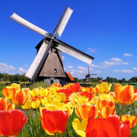 Traditionele Nederlandse windmolens met levendige tulpen op de voorgrond, Nederland