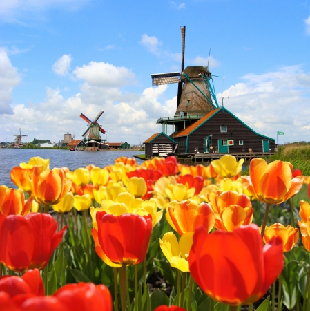 Tradiční holandské větrné mlýny s živými tulipány v Zaanse Schans, Nizozemsko