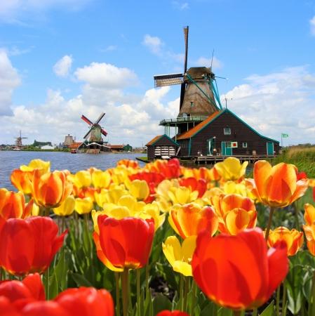 Traditionele Nederlandse windmolens met levendige tulpen op Zaanse Schans, Nederland Stockfoto