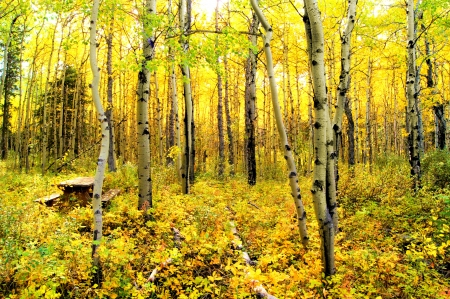 alberta: Vibrant colors of an alpine aspen forest in the Canadian Rockies