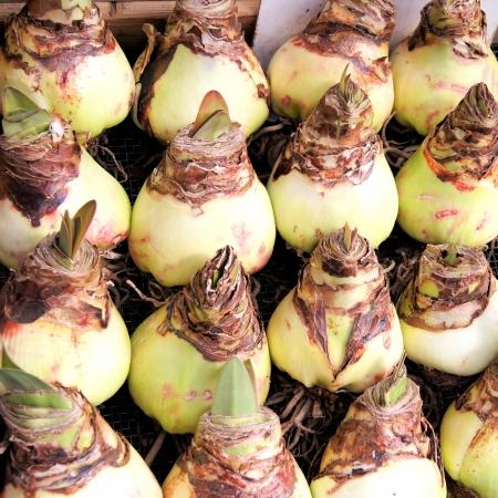 tuber: Group of springtime Amaryllis flower bulbs