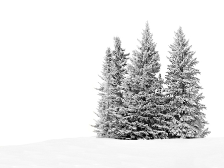Group of frosty spruce trees in snow isolated on white photo
