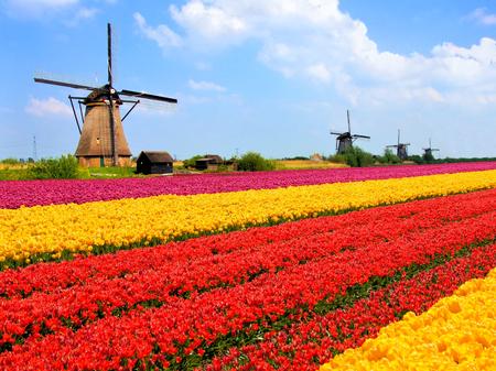 Zářivé tulipány pole s větrnými mlýny v pozadí, Nizozemsko