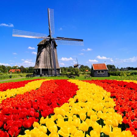 MOLINOS DE VIENTO: Tulipanes vibrantes con molino de viento en el fondo, Países Bajos Foto de archivo