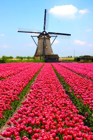 Rijen van roze tulpen met Nederlandse molen op de achtergrond