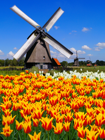 Traditional Dutch windmill with vibrant orange and yellow tulips photo