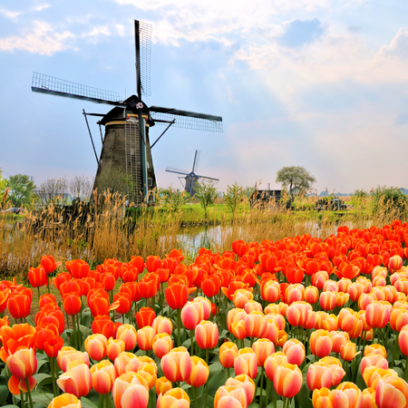 dutch landmark: Classic Dutch windmills with orange tulips and sunbeams, Netherlands