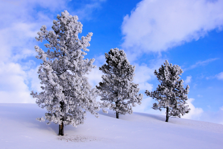 wintry landscape: Winter landscape with frost and snow covered pine trees against blue sky