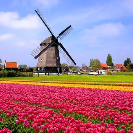 Fields of colorful pink and yellow spring tulips with Dutch windmill Netherlands