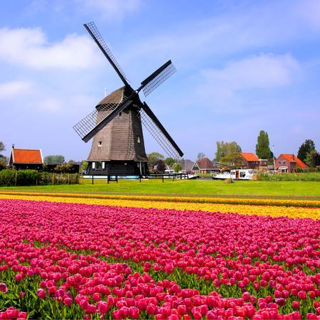 Oblasti barevné růžové a žluté jarní tulipány s Dutch větrný mlýn Nizozemsko