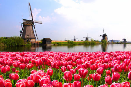 holland: Vibrant pink tulips with Dutch windmills along a canal Netherlands Stock Photo