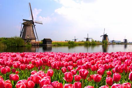 Zářivé růžové tulipány s nizozemskými větrných mlýnů podél kanálu nizozemské