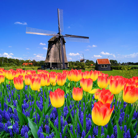 MOLINOS DE VIENTO: Coloridas flores de primavera con clásico holandés molino de viento Países Bajos Foto de archivo