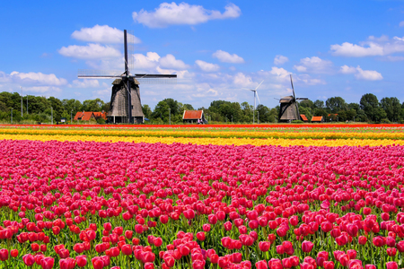 Colorful spring tulips with traditional Dutch windmills Netherlands