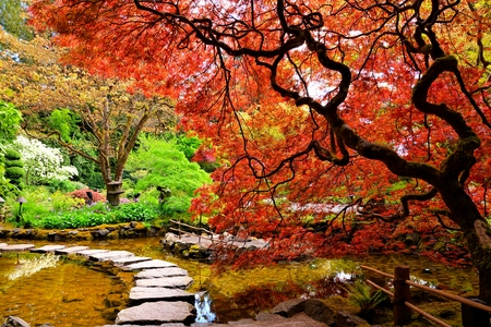 Pond with overhanging red Japanese maples during springtime, Butchart Gardens, Victoria, BC, Canada