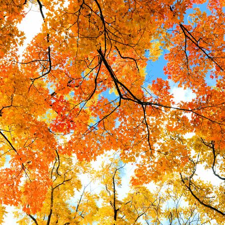 Fall background of colorful red, orange and yellow autumn trees