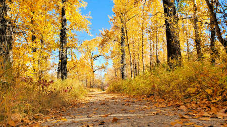 Fallen leaves on a pathway through vibrant yellow trees during autumn