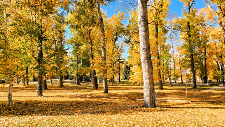 Yellow fall leaves blanketing a park on a sunny autumn day Banco de Imagens