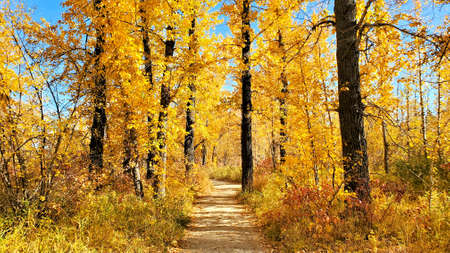 Pathway through vibrant yellow trees during autumn on a sunny day