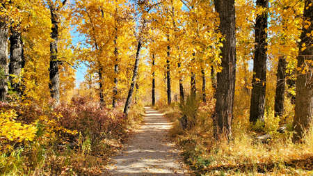 Vibrant yellow autumn leaves surrounding a footpath on a sunny day Banco de Imagens