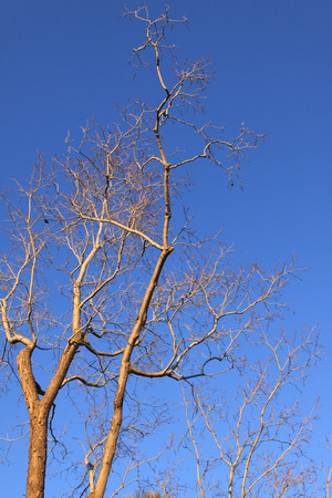 barren: dry tree against the blue sky Stock Photo