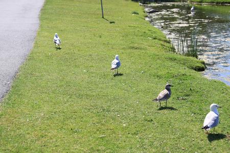 the seagulls: Seagulls on grass