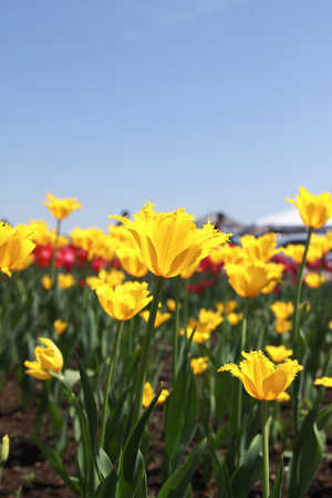 pedicel: Yellow Tulips closeup
