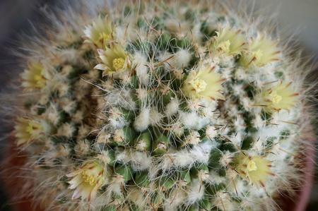 closeup: Cactus flower : Mammillaria karwinskiana Stock Photo