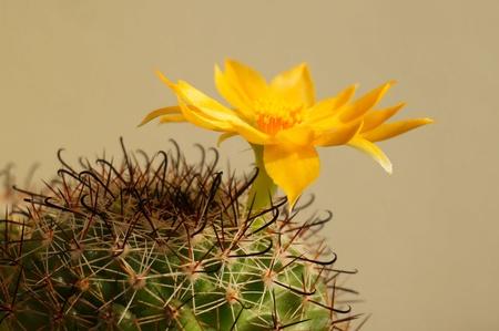 closeup: Cactus flower : Mammillaria beneckei