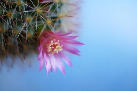 Cactus flower : Mammillaria zeilmanniana
