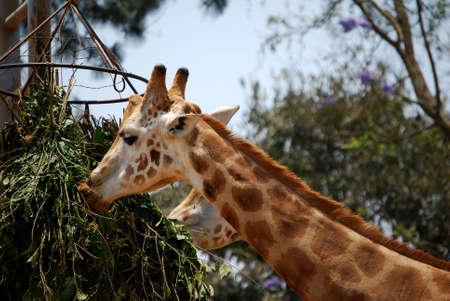 Giraffe eating at the zoo photo