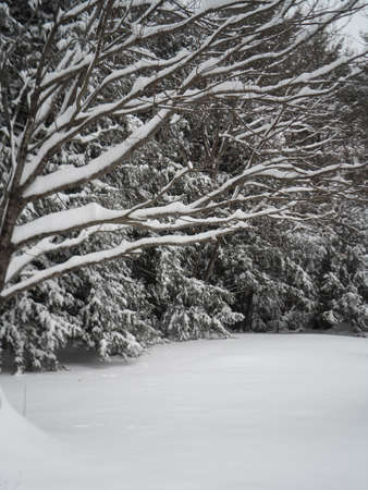 limbs: Snow on Tree Limbs
