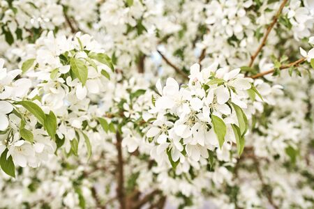 White cherry blossom flowers blooming on a tree branch on a spring day Imagens