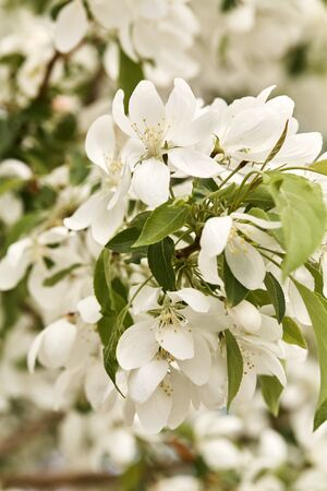 Macro detail of white cherry blossom flowers blooming on a tree branch on a spring day