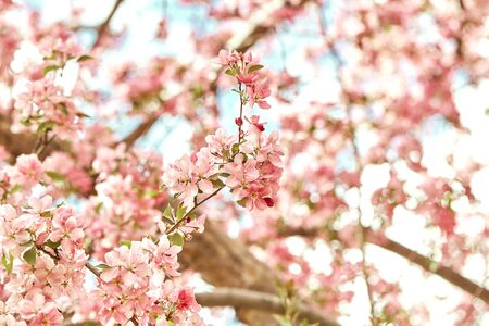 Closeup of colorful, pink cherry blossoms flowers at Spring, growing on branches of tree