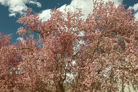 Landscape of Spring, pink cherry blossom tree against a blue sky